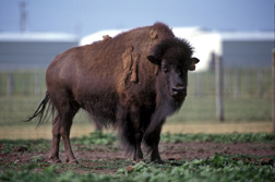 Bison at the National Animal Disease Center in Ames, Iowa: Click here for full photo caption.