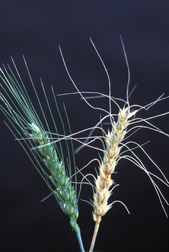 A healthy wheat head stands in contrast to one inoculated with Fusarium graminearum: Click here for full photo caption.
