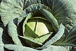 Photo: Cabbage.