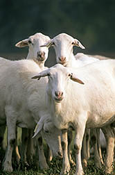 St. Croix sheep. Click here for full photo caption.