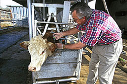 Scientist injects a suspension containing drug-releasing microspheres under the skin of cow