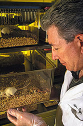 A special strain of lab mice being examined by parasitologist