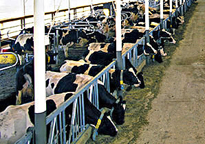 Photo: Dairy cows in a barn. Link to photo information