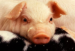 Cannabinoids lead to calmer pigs