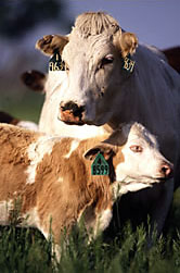 Photo: A cow and calf. Link to photo information