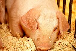 Healthy pig.