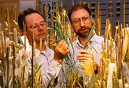 Herbert Ohm and Joe Anderson inspect wheatgrass plants.