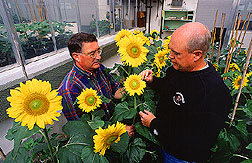 Jerry Miller and Dale Rehder pollinate sunflowers.