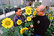 Jerry Miller (left) pollinates sunflowers.