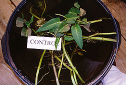 Untreated water spinach.