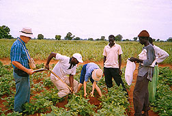 Plant physiologist and Cinzana Research Station staff collect cowpea root samples. Click here for full photo caption.