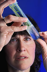 Ann Blechl looks at root growth on tiny wheat plantlets in a test tube. Link to photo information