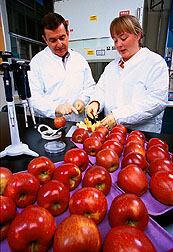 Plant pathologists sample fresh-cut apples to determine survival and growth of Listeria monocytogenes. Click here for full photo caption.
