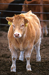 Piedmontese-Hereford crossbred calf. Click here for full photo caption.
