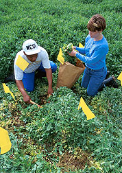 Technicians collect samples to estimate the amount of plant matter in a field near Thighman Lake. Click here for full photo caption.
