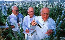 Plant pathologist inoculates progeny of a durum-emmer cross with Fusarium fungus. Click here for full photo caption.
