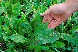 Chicory stays green and leafy when most other pasture plants stop growing.