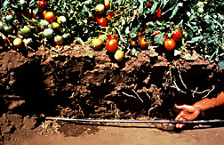 Soil cut-away to expose drip line in tomato field