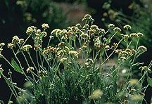 Guayule plants.