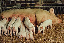 Sow nursing her litter of piglets.