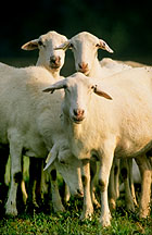 St. Croix sheep:  Link to photo information