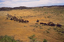 Cowboys round up cattle at Fort Keogh.  Link to photo information