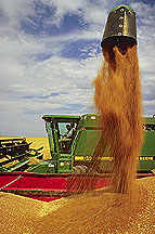 Wheat harvest. Link to photo information