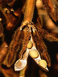 Mature soybeans
