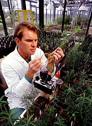 Scientist Rick Bennett examines leafy spurge roots: Link to photo information