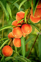 Photo: Peaches. Link to photo information