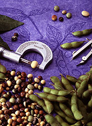 Display of a caliper tool alongside soybean seeds and pods. Link to photo information