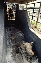 cow in tick bath