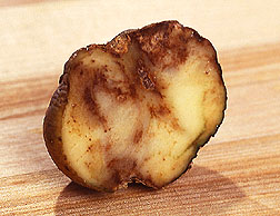 Cut-open potato infected with blight: Link to photo information