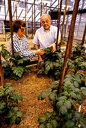 ARS plant geneticist Kathleen Haynes and plant pathologist Robert Goth developed two potato breeding lines that resist the worst strains of late blight disease.