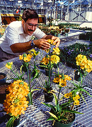 Photo of plant geneticist as he cross-pollinates Ornithogalum flowers.