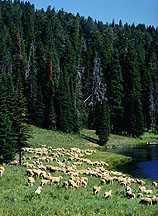 Sheep graze near a mountain lake. Link to photo information