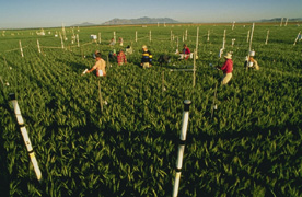 Photo: In a field near Phoenix, Arizona, scientists measure the growth of wheat plants surrounded by elevated levels of atmospheric carbon dioxide. Link to photo information