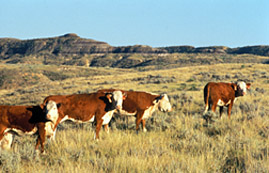 Cattle grazing on Montana rangland. Link to photo information