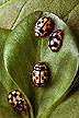 Propylea quatuordecimpunctata lady beetles