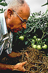 Scientist examines tomatoes grown with hairy vetch:  Link to photo information