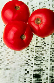 Endless Summer tomatoes. Click here for full photo caption.