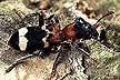 Thanasimus formicarius beetle