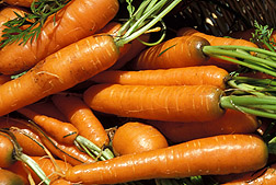 Photo: Bunch of carrots. Link to photo information