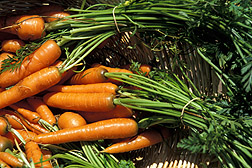 Carrots freshly harvested from a farm garden.