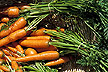 Carrots: Link to research story