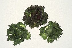 Photo: Lettuce. Link to photo information