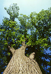 Photo of a large American elm tree.