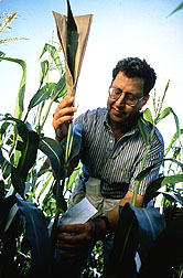 Geneticist Victor Raboy prepares a low-phytic-acid corn plant for self-pollination.