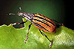 Citrus root weevil