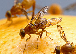 Mexican fruit flies on a grapefruit. Link to photo information